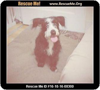 Miniature Schnauzer/Australian Shepherd Mix Puppy for adoption in Madison, Tennessee - Milo - Adopted