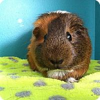 Adopt A Pet :: Fudge - Coral Springs, FL