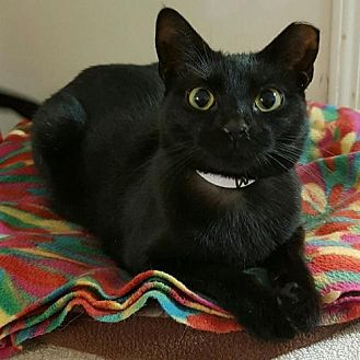 Domestic Shorthair Cat for adoption in Columbus, Ohio - Ichiboni