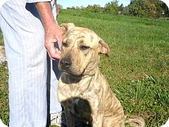Shepherd (Unknown Type) Mix Dog for adoption in Zanesville, Ohio - # 222-12 RESCUED!