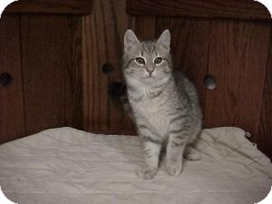 Domestic Shorthair Kitten for adoption in East Hanover, New Jersey - Yoshi