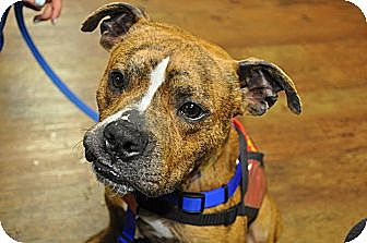 Boxer Mix Dog for adoption in Germantown, Tennessee - Randolph