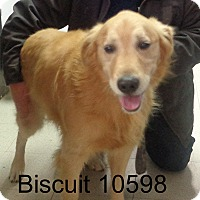 Adopt A Pet :: Biscuit - Greencastle, NC
