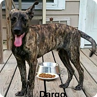 Adopt A Pet :: Dargo-pending adoption - Manchester, CT