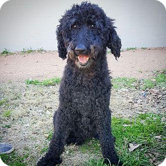 Poodle (Standard) Dog for adoption in Fredericksburg, Texas - Ethel