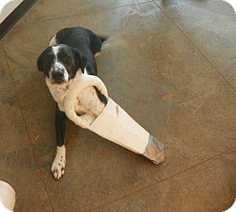 German Shorthaired Pointer/Border Collie Mix Dog for adoption in Roosevelt, Utah - Louie