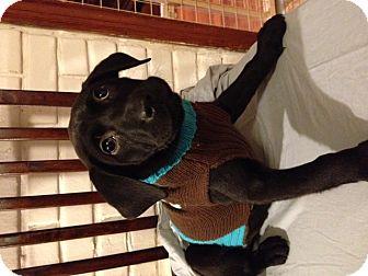 Labrador Retriever Mix Puppy for adoption in Manchester, Connecticut - Tyger