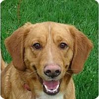 Adopt A Pet :: PENDINGFox - Toronto/Etobicoke/GTA, ON