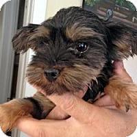 Adopt A Pet :: Candi - Bunnell, FL