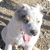 Adopt A Pet :: Cowgirl - dewey, AZ