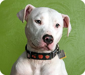 American Staffordshire Terrier Mix Dog for adoption in Dallas, Texas - Molly