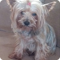 Adopt A Pet :: Lacey - Canton, IL