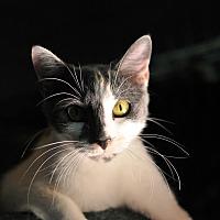 American Shorthair Cat for adoption in Tanner, Alabama - Bobbi