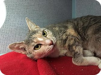 Domestic Shorthair Cat for adoption in Manteo, North Carolina - Cashew