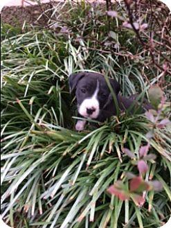 Pit Bull Terrier/Boxer Mix Puppy for adoption in Allentown, Pennsylvania - Olive (ETAA)