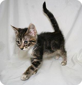 Domestic Shorthair Kitten for adoption in Bradenton, Florida - Fuzzy