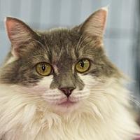 Domestic Mediumhair Cat for adoption in Great Falls, Montana - Ribbon