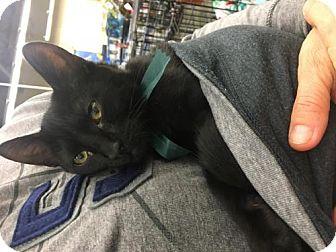 Domestic Shorthair Kitten for adoption in ROSENBERG, Texas - Axel