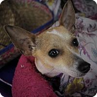 Adopt A Pet :: Swiss - Allentown, PA