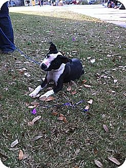 American Staffordshire Terrier Dog for adoption in Baton Rouge, Louisiana - Allie