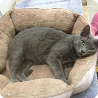 Russian Blue Cat for adoption in St. James City, Florida - Wesley