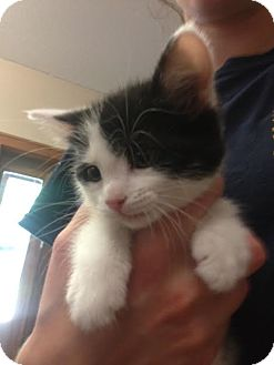 Domestic Shorthair Kitten for adoption in Cashiers, North Carolina - Shelby