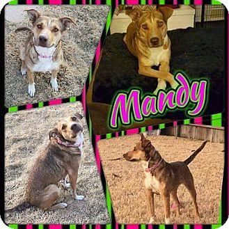German Shepherd Dog/Labrador Retriever Mix Dog for adoption in Austin, Texas - Mandy
