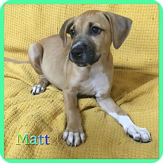 German Shepherd Dog Mix Puppy for adoption in Hollywood, Florida - Matt