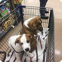 Adopt A Pet :: Gigi - Shaw AFB, SC