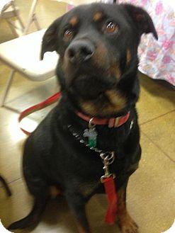 Rottweiler Mix Dog for adoption in Cincinnati, Ohio - Buddy