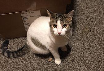 American Shorthair Cat for adoption in Sedalia, Missouri - Gwenie