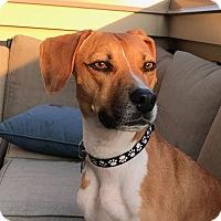 Adopt A Pet :: Pending!Bella-Bean - Bowie, MD