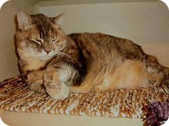 Domestic Shorthair Cat for adoption in Chesapeake, Virginia - Faux Pas
