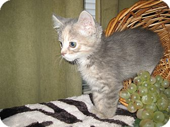 Domestic Shorthair Kitten for adoption in Clearfield, Utah - LollyPop