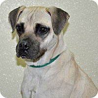 Adopt A Pet :: Chanel - Port Washington, NY