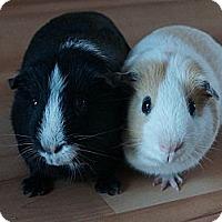 Adopt A Pet :: Stripe & Gizmo - Brooklyn Park, MN
