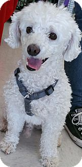 Bichon Frise/Poodle (Miniature) Mix Dog for adoption in Phoenix, Arizona - Charlie