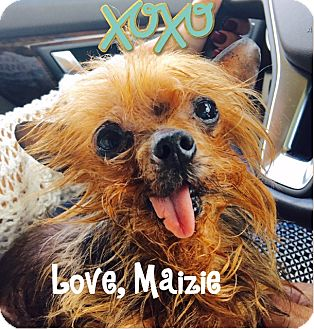 Yorkie, Yorkshire Terrier Dog for adoption in Crestwood, Kentucky - Maizie