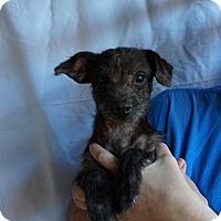 Adopt A Pet :: Cutie Pie - Oviedo, FL