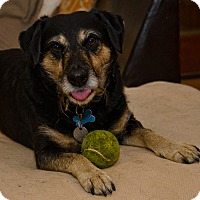 Terrier (Unknown Type, Medium) Mix Dog for adoption in Dallas, Texas - Buster