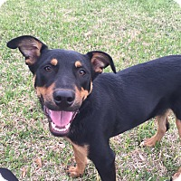 Labrador Retriever/Shepherd (Unknown Type) Mix Dog for adoption in Glastonbury, Connecticut - Bruno
