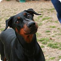 Adopt A Pet :: Bowa - Toms River, NJ