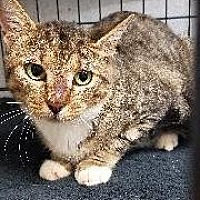 Domestic Shorthair Cat for adoption in Queenstown, Maryland - Cindy Clawford
