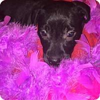 Labrador Retriever Puppy for adoption in Foristell, Missouri - Darla