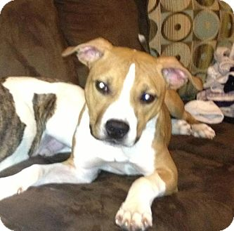 American Pit Bull Terrier Mix Dog for adoption in Nashua, New Hampshire - Opie