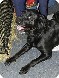 Labrador Retriever Mix Dog for adoption in Clinton, Maine - Missy