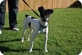 Rat Terrier/Fox Terrier (Smooth) Mix Dog for adoption in Norman, Oklahoma - Peewee