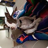 Adopt A Pet :: SuzieQ - Adoption Pending - Vancouver, BC