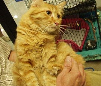 Domestic Shorthair Cat for adoption in Midvale, Utah - Butch