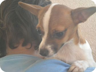 Chihuahua/Terrier (Unknown Type, Medium) Mix Dog for adoption in Fresno, California - Sally